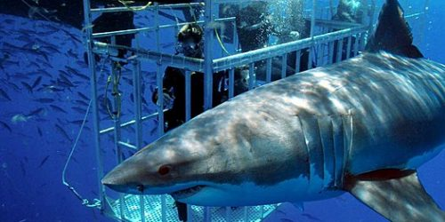 Scuba Diving with Sharks   Cape Hills Tours and Transfers